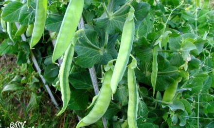 Growing sugar snap peas